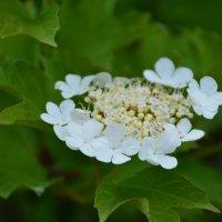 Ой цветет калина.... :: Валентина Папилова