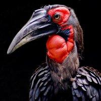Кафрский рогатый ворон. :: Alexander Andronik
