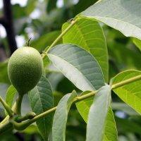 О пользе зелёного грецкого ореха. :: Валентина ツ ღ✿ღ