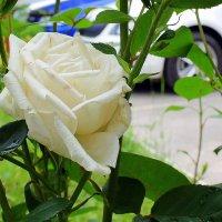 Чудесный  свежий  аромат  влечет  своим  благоуханием. :: Валентина ツ ღ✿ღ