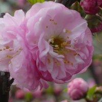 Цветок сакуры. :: Андрей