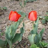 2 тюльпана :: Александра Ельчина