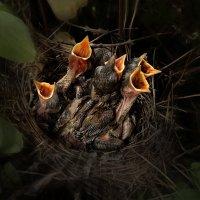 фотограф анималист - птенцы на гнезде :: Антон Летов