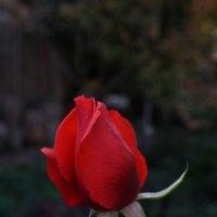 Поздняя роза :: Иван Дмитриев