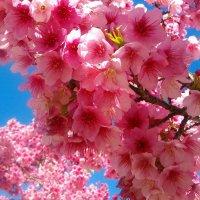 Цветы сакуры. :: Герович Лилия