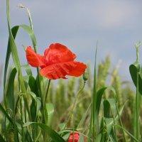 Красные маки в поле расцвели! :: Татьяна Смоляниченко