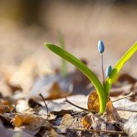 Пролеска (Scilla) в весеннем лесу :: Виталий Рыбалов