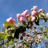 Цветение яблони. :: VasiLina *
