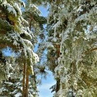 Солнце в лесу :: Сергей Банков