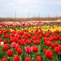 Тюльпановое поле :: Cветлана Свистунова
