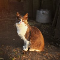 Кот в деревне :: Оксана Смолкина