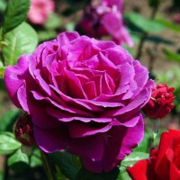 роза :: Валерия Шамсутдинова
