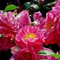 Пчела и розы :: Владимир Бровко