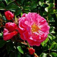 Красная роза :: Владимир Бровко