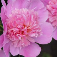 Цветут пионы :: Наталия Григорьева