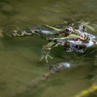 Лягушки-квакушки :: Геннадий