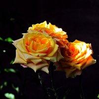 послеполуденные розы :: Александр Корчемный