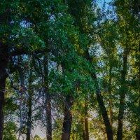 Деревья в лучах заходящего солнца :: Сергей Тагиров
