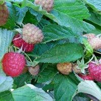 ягода малина :: Люша