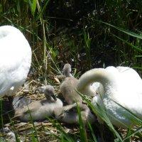 Лебеди на озере :: Наиля
