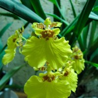 Орхидея. :: Александр Марусов