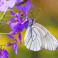 бабочка :: ИрЭн Орлова