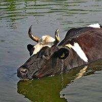 Плавающая корова :: Ростислав