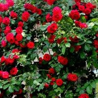 Запах розы сад наполнил. :: Валентина ツ ღ✿ღ