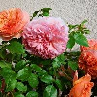 Розы на моем балконе. :: Galina Dzubina