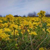Желтая поляна :: Виктор Четошников