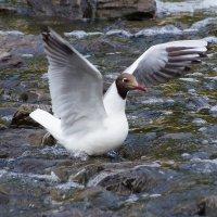 Озёрная чайка :: kolyeretka