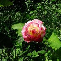 Одинокая роза :: Владимир Бровко