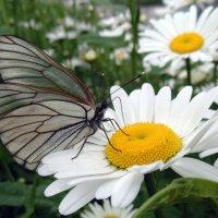 Бабочкин танцпол. :: Мила Бовкун