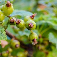 мокрая ягода :: Света Кондрашова