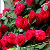 Достойней роз нет в мире красоты! :: Валентина ツ ღ✿ღ