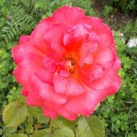 Розы Нового Иерусалима 2 :: Викторина Срыбна