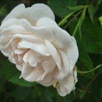 Июньская роза :: Нина Корешкова