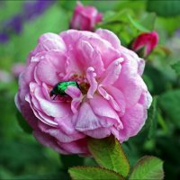 Сладкая роза :: Татьяна Пальчикова