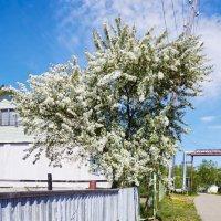 Яблоня в цвету :: Алеся Кайдалова
