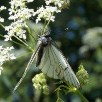 бабочка :: Galina Demkina