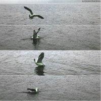 Добыча еды приморской чайкой, заснятая мной в одной из бухт японского моря) :: Katerina Pravdina