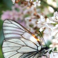 Бабочка :: Мария Копысова
