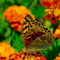 бабочка :: Геннадий Беляков