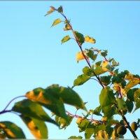 Абрикосовая веточка в небе :: Вика Тихонова