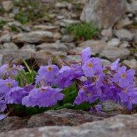 Цветы в горах. :: Ольга