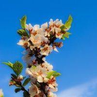 ветка вишни :: Юлия Кожухарь