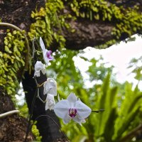 Орхидея, о.Бали :: Роман _