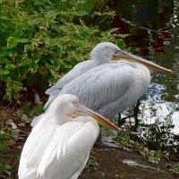 Розовый и кучерявый пеликаны. :: Ольга