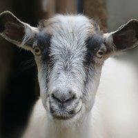 Портрет козы :: Лекса Слеповрон