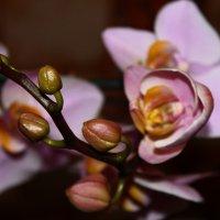 Орхидея! :: Юлия Артамонова